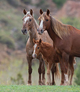 RF - Wild Mustang mare with sister and foal at Black Hills Wild Horse Sanctuary, South Dakota, USA. May. (This image may be licensed either as rights managed or royalty free.)  -  Carol Walker