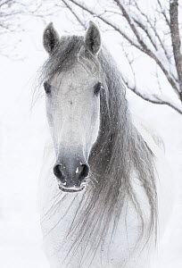 RF - Head portrait of grey Andalusian mare with long mane in snow, Berthoud, Colorado, USA. January. - Carol Walker