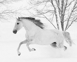 RF - Grey Andalusian mare running in snow, Berthoud, Colorado, USA. January. (This image may be licensed either as rights managed or royalty free.)  -  Carol Walker