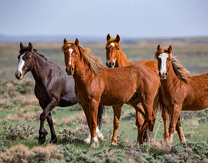 Wild mustang family of mares and youngsters in Salt Wells Creek Herd Area, Wyoming, USA. May.  -  Carol Walker