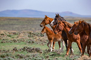 Wild mustang family of mares and a foal stand in Salt Wells Creek Herd Area, Wyoming, USA. May 2013. - Carol Walker