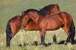 Two wild bay Mustang stallions stand together, sniffing before striking,  Pryor Mountains, Montana, USA. June. - Carol Walker