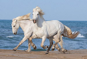 Two white Camargue horses running on beach in Camargue, France, Europe. May. - Carol Walker
