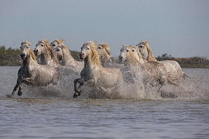 Nine white Camargue horses running through water in Southern France, Europe. May. - Carol Walker