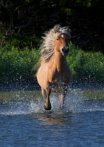 Wild Mustang stallion  running in water on Carrott Island, North Carolina, USA. May. - Carol Walker
