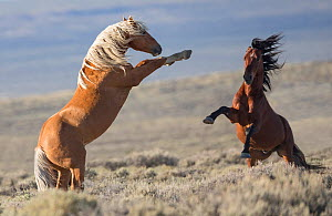Two wild Mustang stallions fighting in the White Mountain Herd Area, Wyoming, USA. August. - Carol Walker