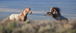 Two wild Mustang stallions fighting in White Mountain Herd Area, Wyoming, USA. August. - Carol Walker