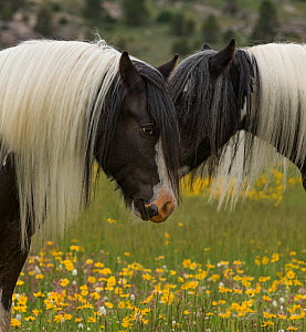 Head portrait of two Gypsy vanner geldings close together at ranch in Wyoming, USA. June.  -  Carol Walker