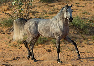 Grey Arabian stallion walking in desert dunes near Dubai, United Arab Emirates.  -  Carol Walker