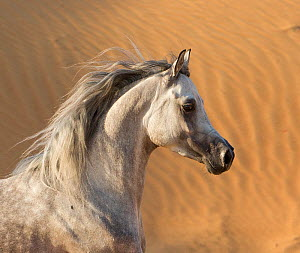 Head portrait of grey Arabian stallion running in desert dunes near Dubai, United Arab Emirates.  -  Carol Walker