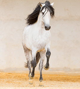 Grey Andalusian stallion cantering in arena, Northern France, Europe. March.  -  Carol Walker