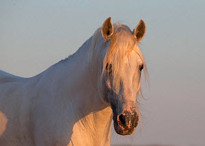 Head portrait of grey Lusitano stallion in southern Spain, Europe. May.  -  Carol Walker