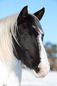 Wild pinto Mustang in winter at Black Hills Wild Horse Sanctuary, South Dakota, USA. January.  -  Carol Walker