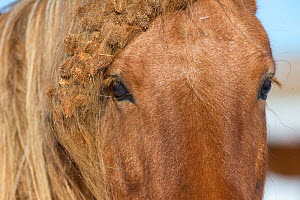 Close up of chestnut Spanish mustang with burs in mane and forelock at Black Hills Wild Horse Sanctuary, South Dakota, USA. - Carol Walker