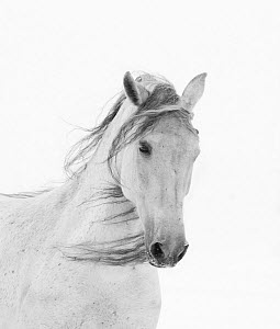 Head portrait of grey almost white Andalusian mare running in snow, Berthoud, Colorado, USA. December. - Carol Walker