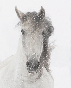 Head portrait of grey almost white Andalusian mare running in snow, Berthoud, Colorado, USA. January.  -  Carol Walker
