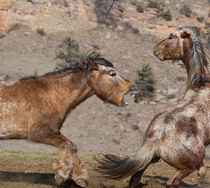 Two formerly wild Mustang stallions, fight for dominance at Black Hills Wild Horse Sanctuary, South Dakota, USA. - Carol Walker
