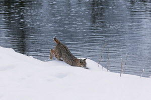 Bobcat (Lynx rufus) moving along river shore in snow, Yellowstone National Park, Montana, USA. January.  -  Carol Walker