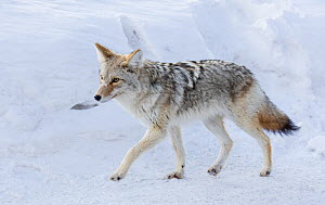 Coyote (Canis latrans) walking on road in winter snow, Yellowstone National Park, Montana, USA. January.  -  Carol Walker