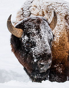 American Bison (Bison bison) turning head in snow, Yellowstone National Park, Montana, USA. January.  -  Carol Walker