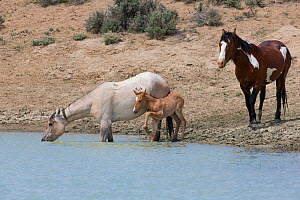 Wild grey Mustang mare drinking with sorrel foal at her side with pinto band stallion behind in Sand Wash Basin, Colorado, USA. May 2013.  -  Carol Walker