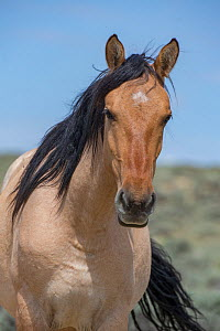 Head portrait of wild dun roan Mustang mare in Sand Wash Basin, Colorado, USA.  -  Carol Walker