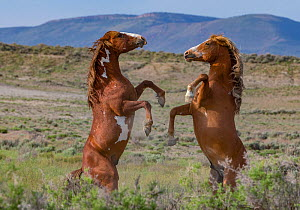 Two wild pinto Mustang stallions battling for dominance in Sand Wash Basin, Colorado, USA. May 2014.  -  Carol Walker