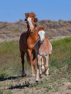 Wild pinto Mustang mare and foal running in Sand Wash Basin, Colorado, USA.  -  Carol Walker