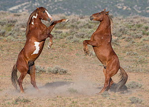 Two wild pinto Mustang stallions battle for dominance in Sand Wash Basin, Colorado, USA.  -  Carol Walker