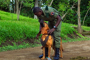 Congohound and handler used in anti-poaching activities. Virunga National Park, Democratic Republic of Congo, March.  -  Anup Shah