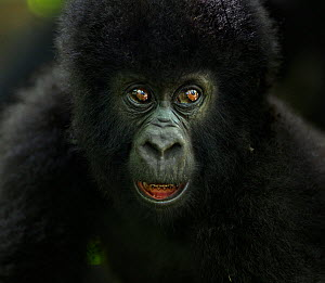 Mountain gorilla (Gorilla gorilla beringei) infant portrait, member of 'Humba' group. Virunga National Park, Democratic Republic of Congo, March. - Anup Shah