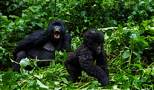 Mountain gorilla (Gorilla gorilla beringei) infant walking watched by a female in the background, member of 'Humba' group. Virunga National Park, Democratic Republic of Congo, March. - Anup Shah