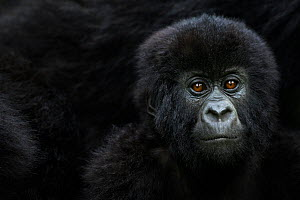 Mountain gorilla (Gorilla gorilla beringei) infant portrait, member of 'Humba' group. Virunga National Park, Democratic Republic of Congo, March.  -  Fiona Rogers