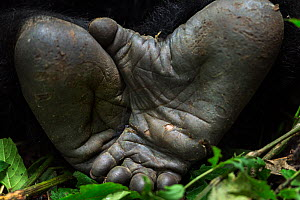 Mountain gorilla (Gorilla gorilla beringei) silverback male feet, member of 'Humba' group. Virunga National Park, Democratic Republic of Congo, March. - Fiona Rogers