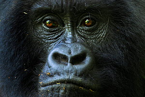 Mountain gorilla (Gorilla gorilla beringei) female portrait , part of the 'Munyanga' group. Virunga National Park, Democratic Republic of Congo, March. - Fiona Rogers