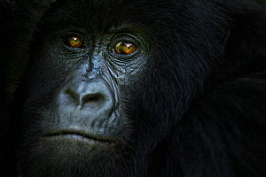 Mountain gorilla (Gorilla gorilla beringei) female portrait, member of 'Humba' group . Virunga National Park, Democratic Republic of Congo, March. - Fiona Rogers