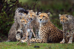 Cheetah (Acinonyx jubatus) cubs aged 6-9 months hunting Thomson's gazelle (Eudorcas thomsonii) fawn caught by their mother, to help develop hunting skills, Maasai Mara National Reserve, Kenya. - Anup Shah