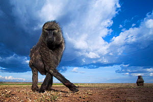 Olive baboon (Papio anubis) foraging, Maasai Mara National Reserve, Kenya. Taken with remote wide angle camera. - Anup Shah