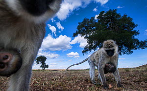 Vervet monkey (Cercopithecus aethiops) two females carrying babies under their bellies, out foraging, Maasai Mara National Reserve, Kenya. Taken with remote wide angle camera. - Anup Shah