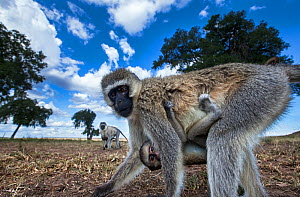 Vervet monkey (Cercopithecus aethiops) female carrying a baby under her belly, out foraging, Maasai Mara National Reserve, Kenya. Taken with remote wide angle camera. - Anup Shah