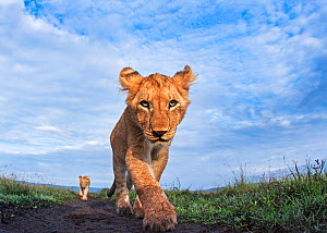 Lion (Panthera leo) cub aged about 11 months approaching camera with curiosity, Maasai Mara National Reserve, Kenya. Taken with remote wide angle camera. - Anup Shah