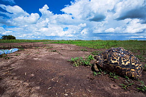 Leopard tortoise (Geochelone pardalis) from ground level. Maasai Mara National Reserve, Kenya. Taken with remote wide angle camera. - Anup Shah