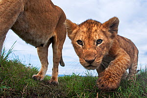 Lioness (Panthera leo) and cub aged about 2 months looking curious, Maasai Mara National Reserve, Kenya. Taken with remote wide angle camera.  -  Anup Shah