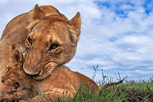 Lioness (Panthera leo) trying to pick up a cub aged about 2 months in her mouth, Maasai Mara National Reserve, Kenya. Taken with remote wide angle camera.  -  Anup Shah
