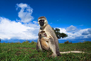 Vervet monkey (Cercopithecus aethiops) female with suckling baby sitting in grassland, Maasai Mara National Reserve, Kenya.  Taken with remote wide angle camera. - Anup Shah