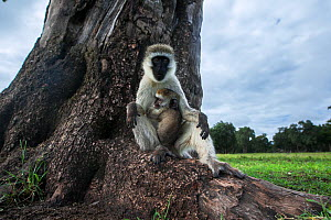 Vervet monkey (Cercopithecus aethiops) female with suckling baby sitting on tree base, Maasai Mara National Reserve, Kenya.  Taken with remote wide angle camera. - Anup Shah