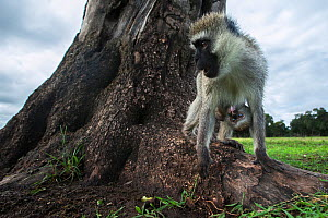 Vervet monkey (Cercopithecus aethiops) female with suckling baby, Maasai Mara National Reserve, Kenya.  Taken with remote wide angle camera. - Anup Shah