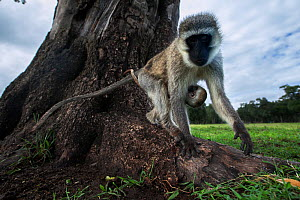 Vervet monkey (Cercopithecus aethiops) female with suckling baby looking at camera with interest, Maasai Mara National Reserve, Kenya.  Taken with remote wide angle camera. - Anup Shah