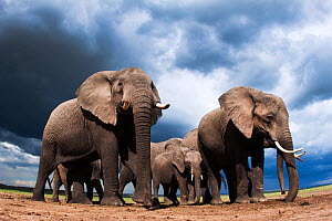 African elephants (Loxodonta africana) feeding on loose soil for its minerals, with stormy skies behind, Maasai Mara National Reserve, Kenya.  Taken with remote wide angle camera.  -  Anup Shah