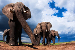 African elephants (Loxodonta africana) feeding on loose soil for its minerals, Maasai Mara National Reserve, Kenya.Taken with remote wide angle camera.  -  Anup Shah